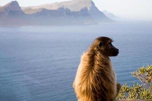 babbuini a Cape Point foto