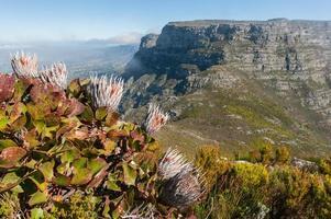 Table Mountain paesaggio con fiori a città del capo, in sud africa foto