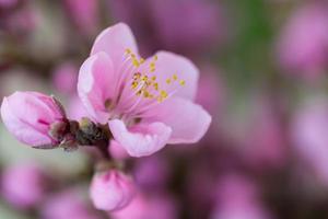 fiore di momo peach foto