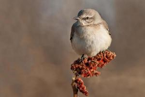 Mockingbird settentrionale foto