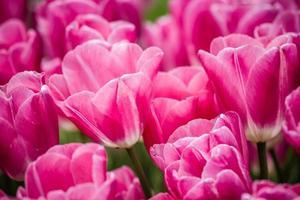bellissimi tulipani rosa in un giardino verde di Istanbul