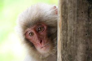 figlio del macaco giapponese foto