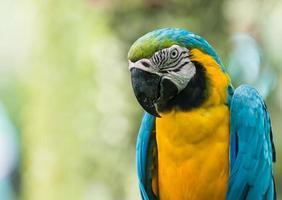 Chiuda in su del pappagallo blu dell'ara foto