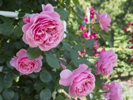 fioritura rosa rosa. foto