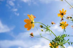 fiore giallo cosmo foto