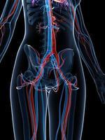 sistema circolatorio femminile foto
