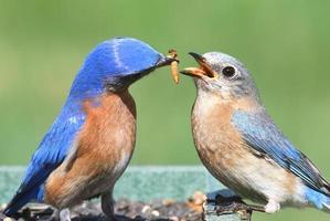 maschio e femmina uccello azzurro orientale
