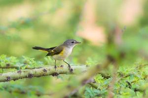 American Redstart femmina su un ramo foto