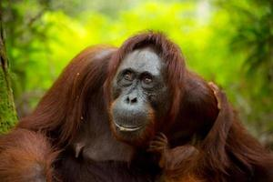 orangutan femmina nel borneo.