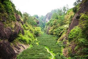 piantagione di tè in montagna wuyi foto