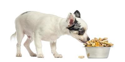 cucciolo della chihuahua che mangia i biscotti per cani da una ciotola