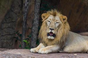 faccia leone foto