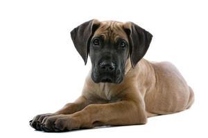 cucciolo di cane great dane foto