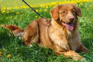 schizzo vettoriale due cani di razza nova scozia tolling retriever