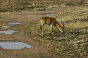uganda kob nel parco nazionale della regina elisabetta, uganda africa foto