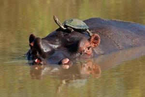 ippopotamo e tartaruga d'acqua dolce foto