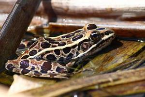 rana leopardo settentrionale (rana pipiens) foto