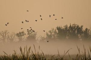 volo mattutino di anatre sopra la palude nebbiosa foto