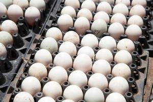 uova di anatra. foto