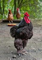 gallo nero foto