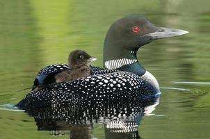 baby loon comune (gavia immer) cavalcando sulla schiena della madre foto