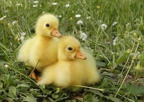 due papere di galline d'oca foto