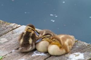 tre piccoli anatroccoli che dormono insieme su una banchina sul lago foto