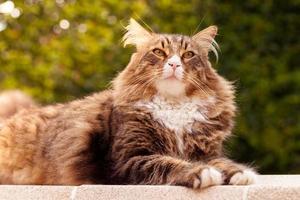 gatto di maine coon