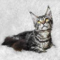 gatto di procione lavatore di Maine del tabby nero che posa sulla pelliccia bianca del fondo