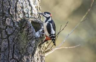 picchio rosso maggiore, arroccato sul fianco di un albero