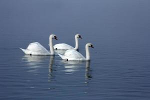 tre cigni bianchi foto