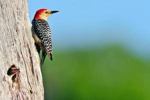 Picchio dal ventre rosso al buco del nido nella zona umida della Florida foto