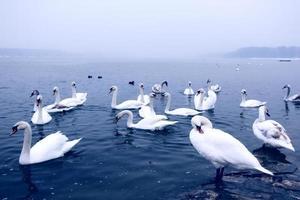 cigni sul fiume Danubio foto