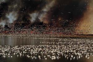 migrazione dell'oca delle nevi contro il fuoco della prateria foto