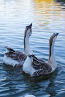 coppia di oche nel lago