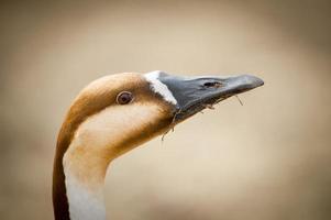 primo piano della testa dell'oca selvatica