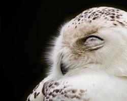 assonnato nevoso foto