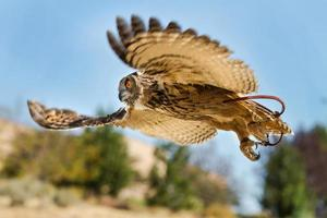 uccello in volo a caccia foto