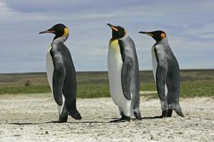 re pinguino, aptenodytes patagonicus foto