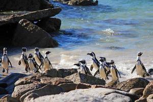 pinguino africano foto