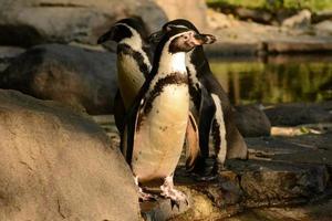 pinguini foto