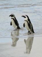 pinguini africani in spiaggia. foto
