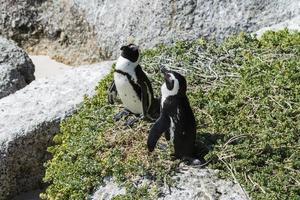 pinguini di jackass (spheniscus demersus)
