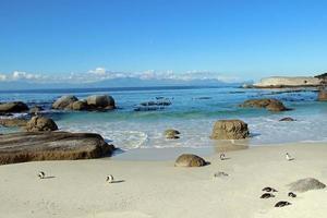 pinguini sudafricani selvaggi foto