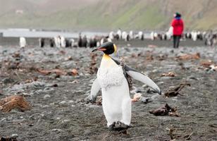 re pinguino con ricercatore in background foto