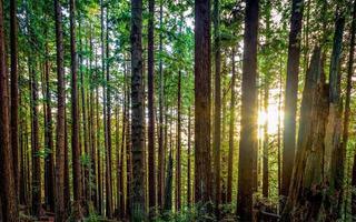 torace di sequoia foto