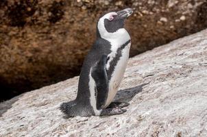pinguino africano, noto anche come il pinguino jackass o piede nero foto
