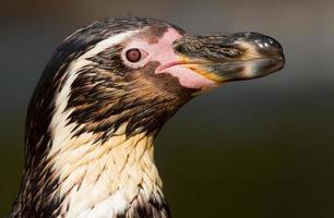 pinguino di Humboldt foto
