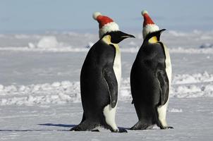 coppia di pinguini a Natale foto
