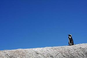 orgoglioso pinguino solitario foto